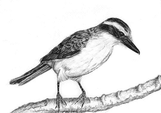 bird-drawing