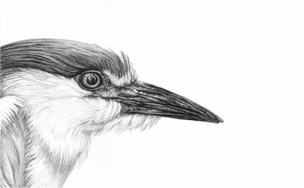 Bird eye pencil drawing